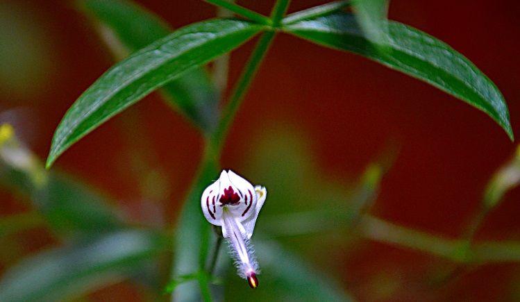 andrographis planta medicinal
