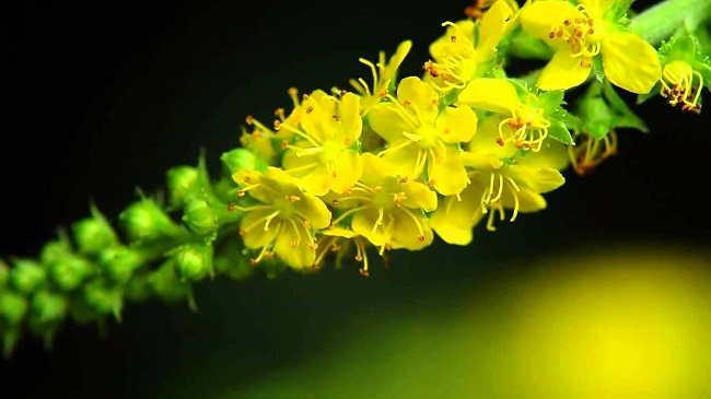 Agrimonia Planta medicinal