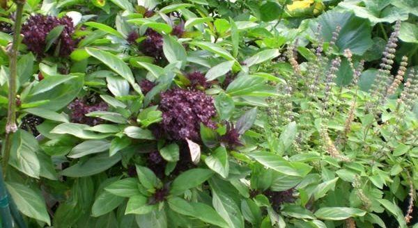 tulsi planta medicinal
