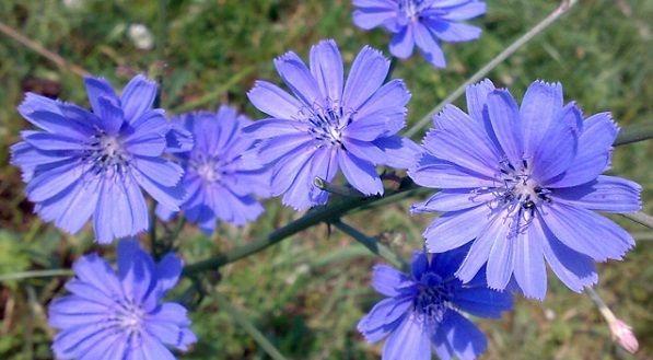 achicoria planta medicinal