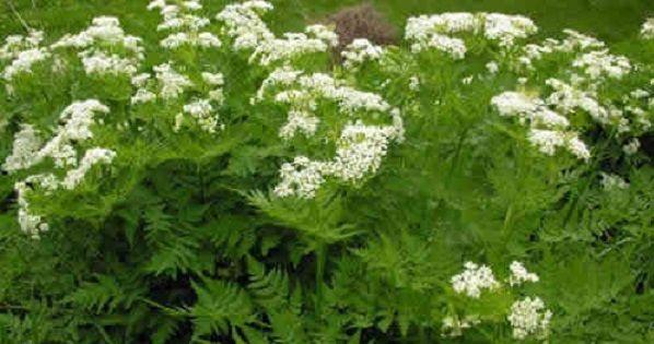 Perifollo planta medicinal