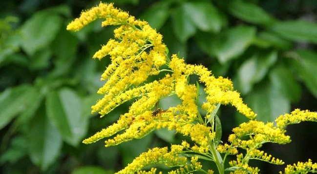 solidago planta medicinal